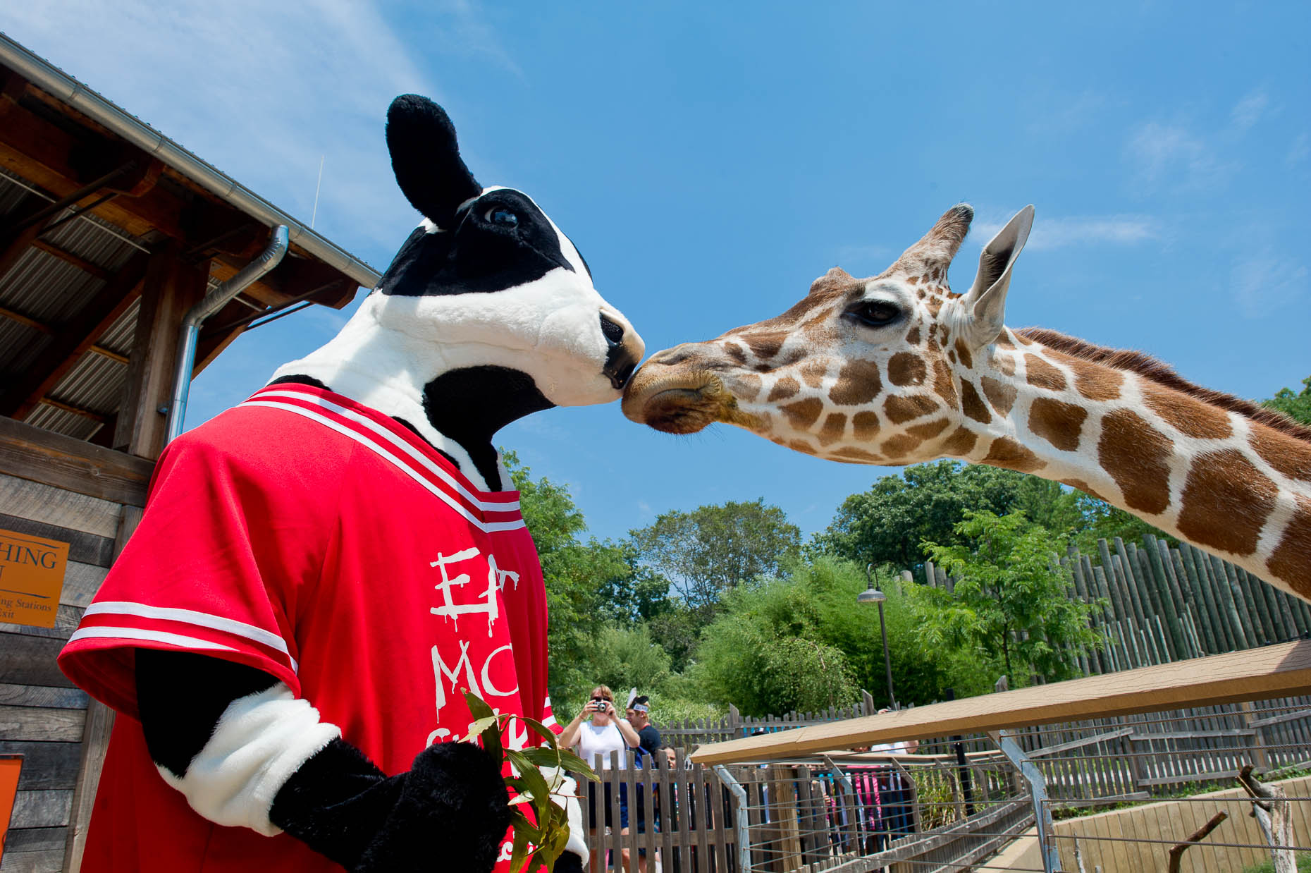 Chick-fil-A cow-and-girafe
