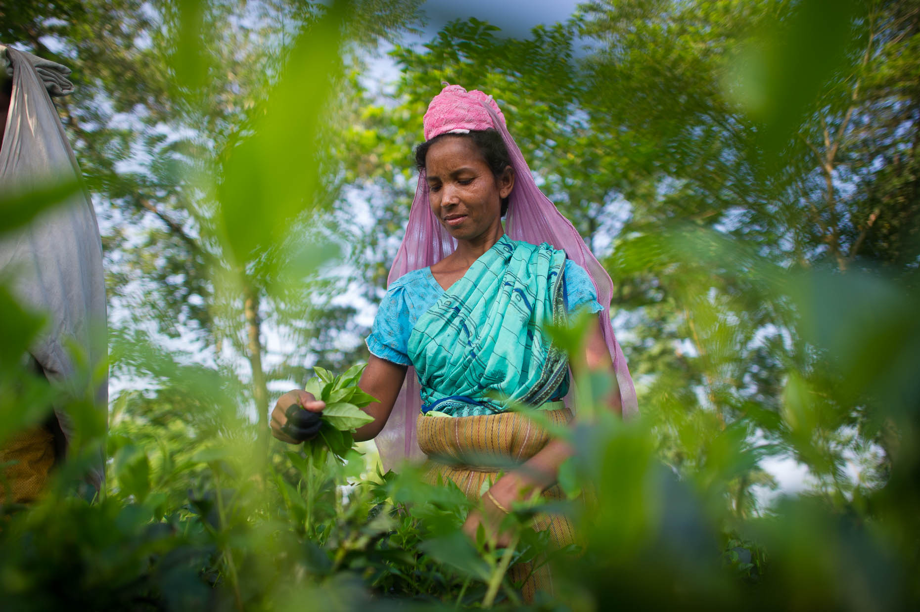 Lady-picking-tea-India
