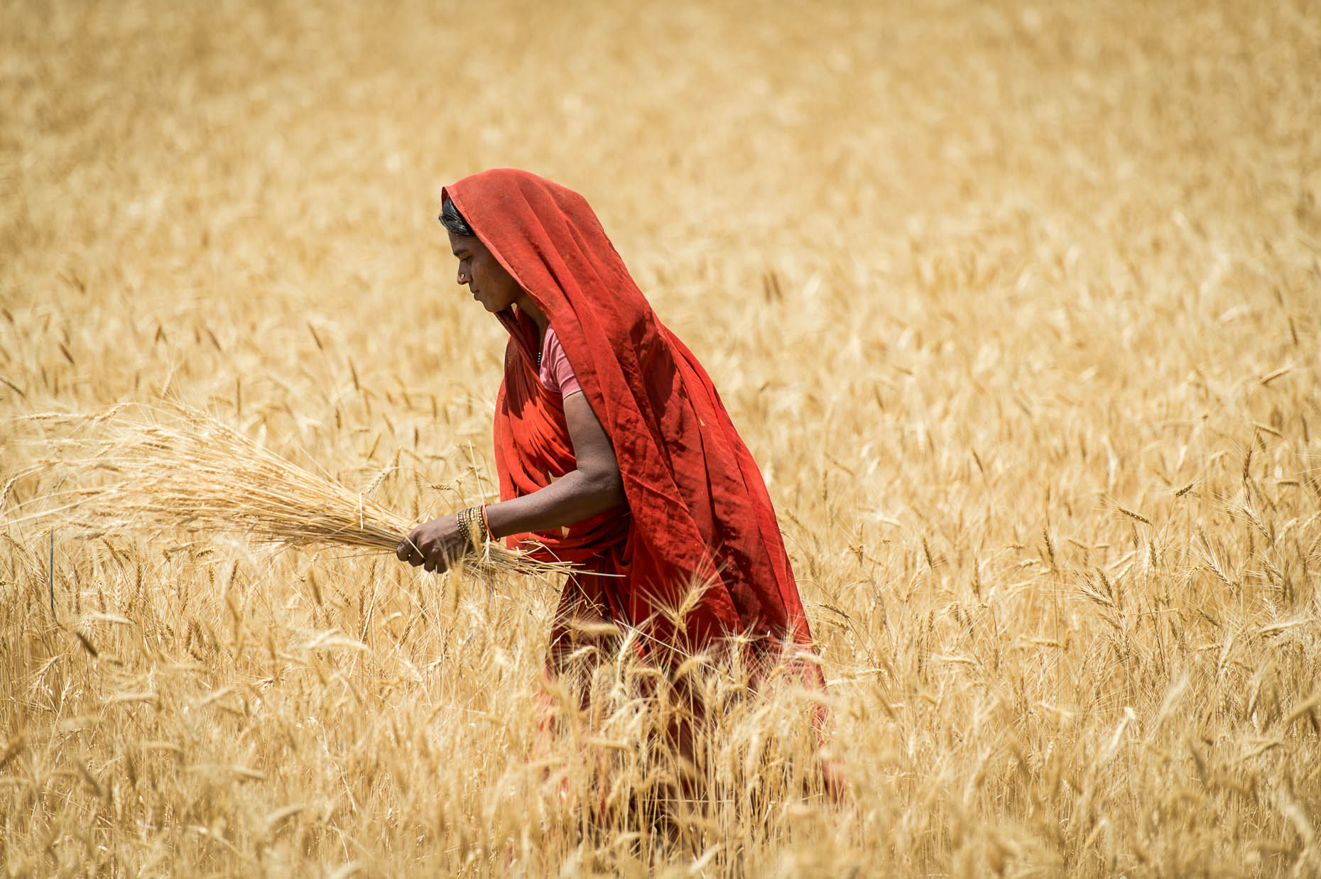 Lady-harvesting-wheat-India
